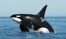 Salish-sea-orca-L-pod