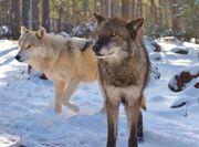 Alaskan-tundra-wolves-1-05afa5d1