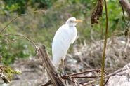 Cattle Egret in Jungle
