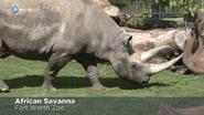 Forth Worth Zoo Black Rhino
