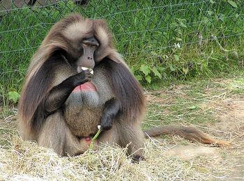 Gelada Baboon male