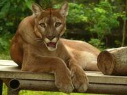 Puma concolor