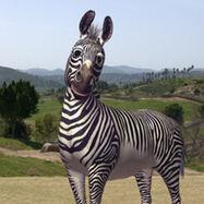 Robert the Zebra