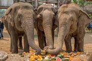 Three Asian Elephants