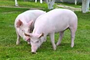 American Yorkshire boar and sow
