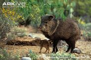 Collared-peccary-with-young-in-habitat