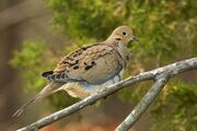 Mourning dove 8