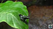 Cincinnati Zoo Poison Dart Frog