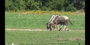 Columbus Zoo Antelope