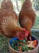 Noah's Ark The Chickens