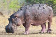 Oxpeckers on Hippopotamus