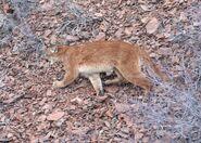 Cougar, North American