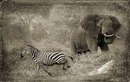 Elephants Galagos Zebras Gazelles