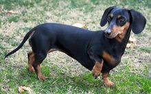 Short-haired-dachshund