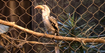 Brookfield Zoo Hornbill