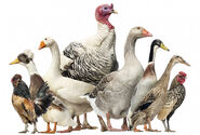 Chicken-turkey-duck
