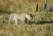 Panthera-pardus-pardus