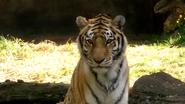 Pittsburgh Zoo Tiger (V2)