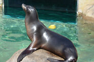 Sea Lion, Callifornia