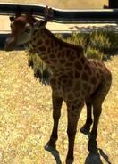 South-african-giraffe-zootycoon3