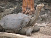 Tortoise, Pinta Island