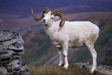 Alaskan Dall Sheep