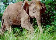 Borneo-elephant-PLoS Biology