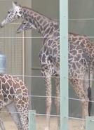 Calgary Zoo Masai Giraffe