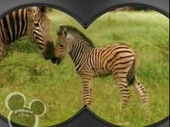 Little Einsteins Zebras