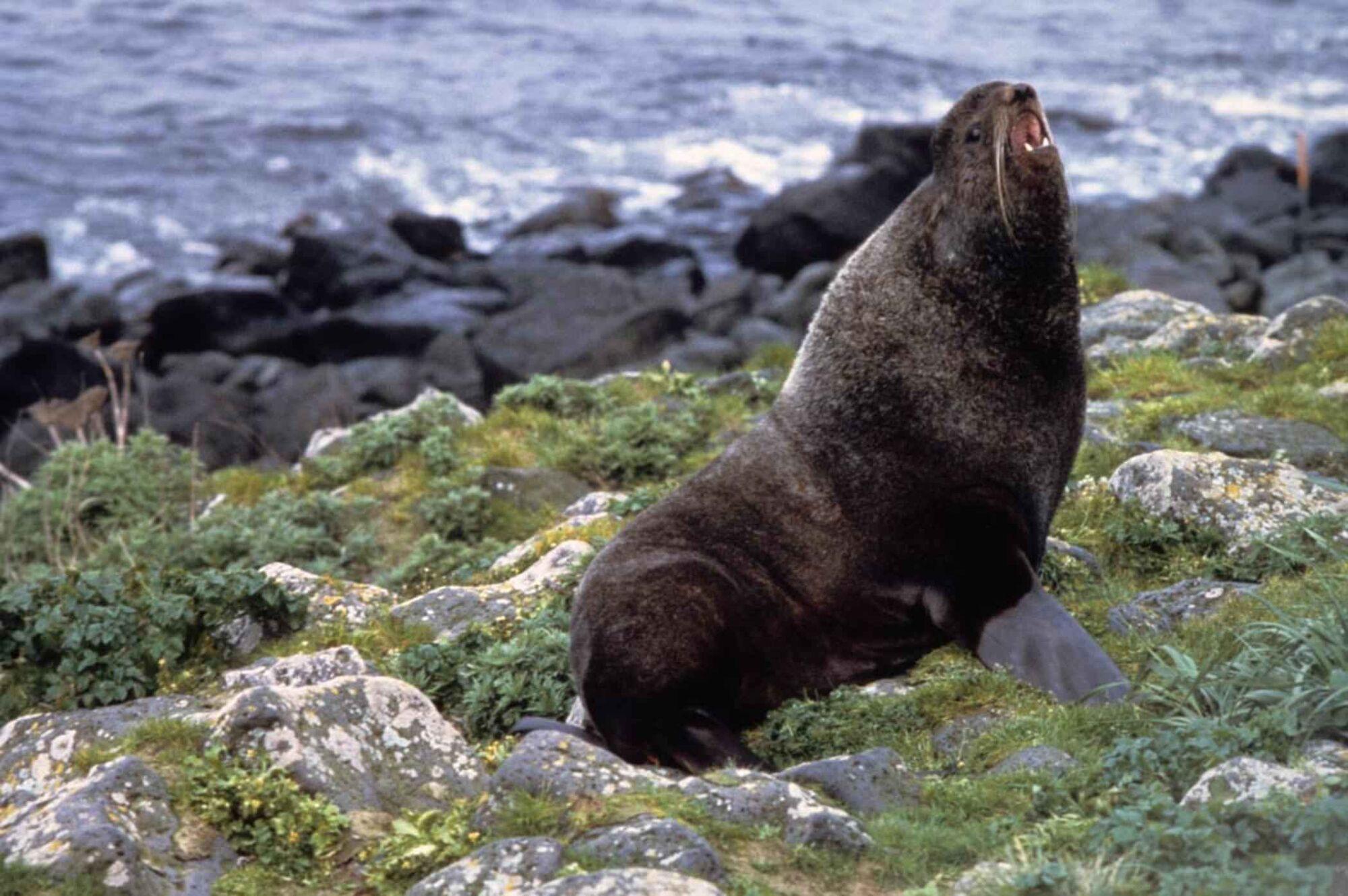 Northern Fur Seal | The Parody Wiki | FANDOM powered by Wikia