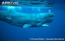 Whale, Sperm