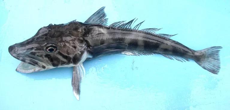 Antarctic Icefish | The Parody Wiki | Fandom  |Antarctic Icefish