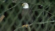 Baton Rouge Zoo Eagle