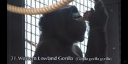 Cleveland Metroparks Zoo Gorilla