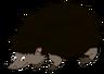 Harvey the European Hedgehog