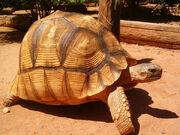 Ploughshare-tortoise600
