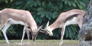Zoo Miami Gazelles