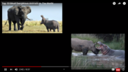 After The Rhinoceros and the Elephant The Hippopotamus Is the Largest Land Animals