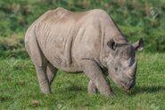 Black Rhinoceros Grazing On Ground Plants