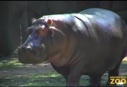 Brookfield Zoo Common Hippopotamus
