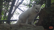 Cincinnati Zoo Arctic Fox (V2)