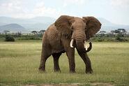 African Elephant Roaming