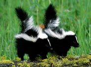 Male and Female Striped Skunks