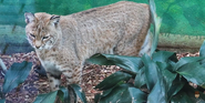 Birmingham Zoo Bobcat