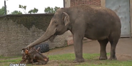 Buffalo Zoo Asian Elephant