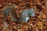 Eastern Grey Squirrel Beacon Hill Park