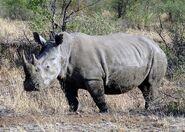 Pilanesberg Rhino