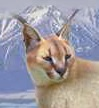 Caracal switch zoo