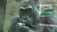 Columbus Zoo Colo the Gorilla