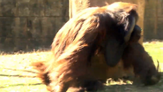 Greenville Zoo Orangutan